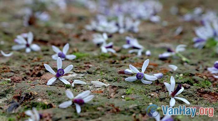 Hoa xoan lớp lớp rụng vơi đầy